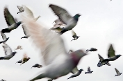 Racing Pigeon Liberation