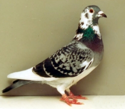 A Champion Racing Homing Pigeon